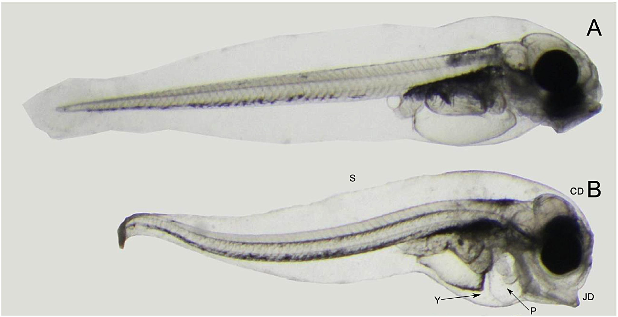 oil droplet pollution and marine fish embryos development