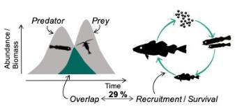 overlap of abudance over time between fish and plankton, fish life cycle