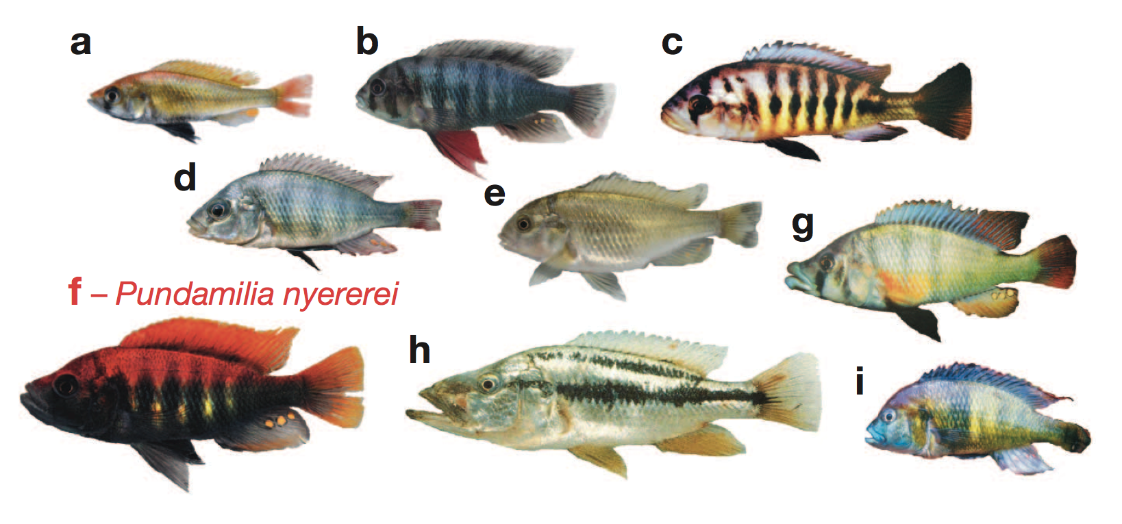 the genomic substrate for adaptive radiation in african cichlid fish - cees