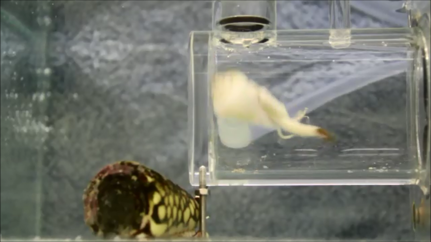 Jumping snail in respirometer during jump, cone snail to the left of the respirometer