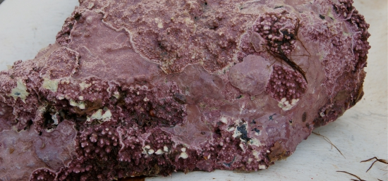 cryptic species that hide in coralline algae are a part of norways hidden biodiversity.