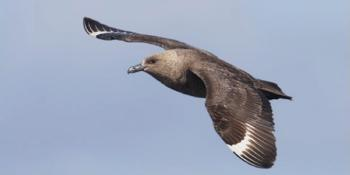 South Skua contains high levels of pollutants even if it lives in Antarctica