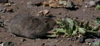 California vole in desert environment