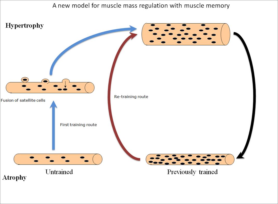 myonuclei steroids