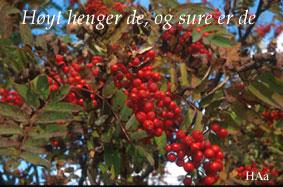 Rogn (sorbus aucuparia) foto: halvor aarnes
