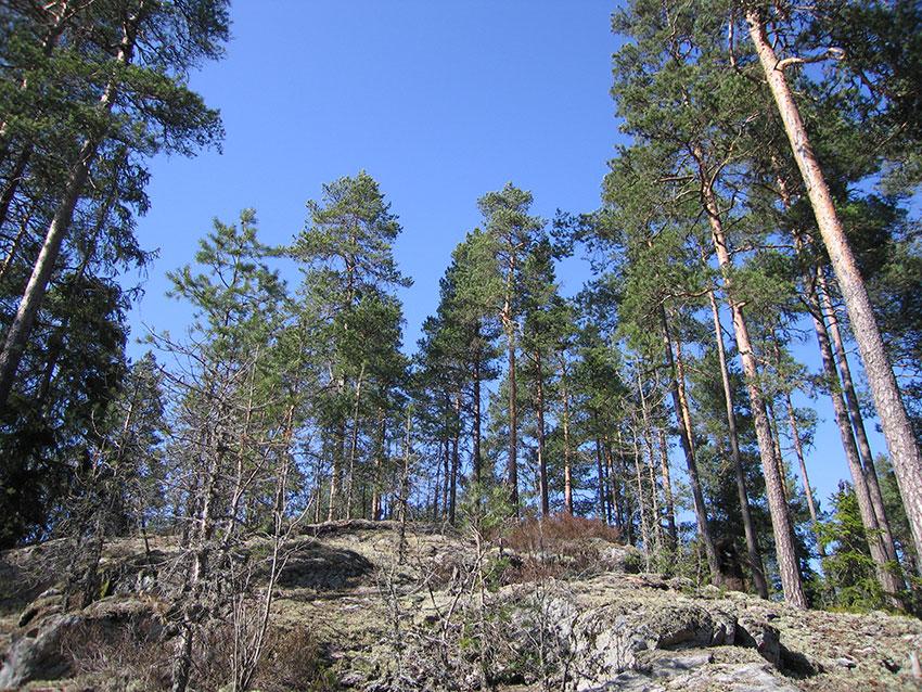 svart store furutrær